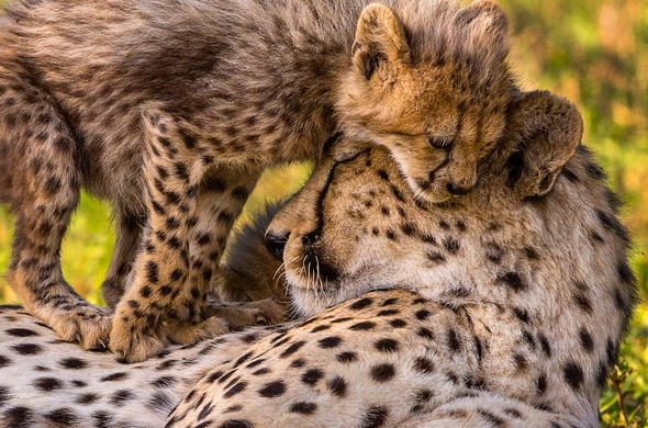 Cheetah and cubs spotted in Manyeleti Game Reserve.