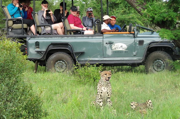 Thrilling cheetah sighting during an African safari.