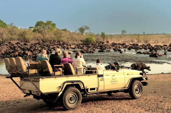 Buffalo herd sighting in Manyeleti Game Reserve.